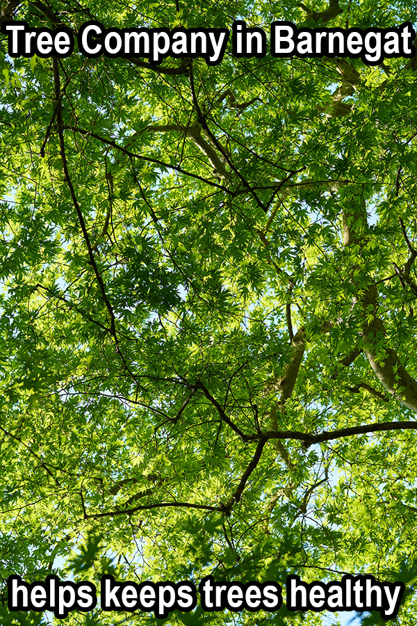 Tree company in Barnegat helps keeps trees healthy in white font outlined with heavy black line overtop a picture of a tree canopy taken from underneath